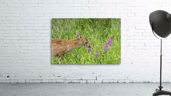 Sitka Black-tailed deer fawn (Odocoileus hemionus sitkensis) munches on fireweed (Chamerion angustifolium) in pasture, captive animal at the Alaska Wildlife Conservation Centre; Portage, Alaska, United States of America