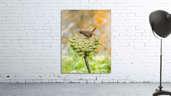 Pacific wren (Troglodytes pacificus) perched on wild celery on St. Paul Island in Southwest Alaska; St. Paul Island, Pribilof Islands, Alaska, United States of America