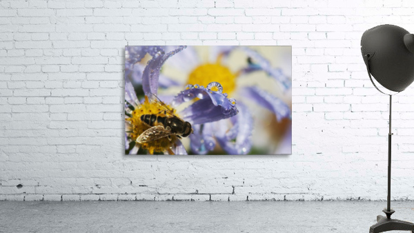 A Fly Rests On Aster Blossoms; Astoria, Oregon, United States Of America