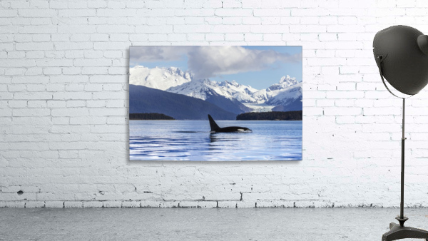 An Orca Whale (Killer Whale) (Orcinus orca) surfaces in Lynn Canal, Herbert Glacier, Inside Passage; Alaska, United States of America