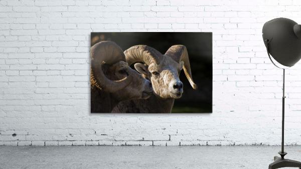 Bighorn Sheep, Waterton National Park, Alberta, Canada