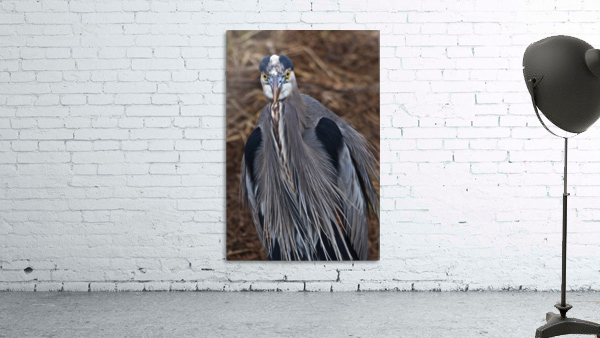 Face on view of great blue heron