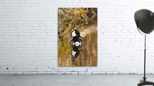 Hooded Merganser Drake Reflection-portrait