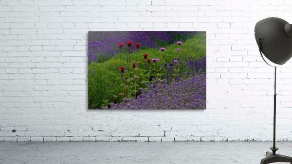 Bee Balm Blooming in Lavender Field