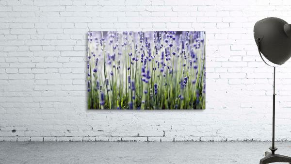 Lavender (Lavandula Angustifolia), Many Sprigs Growing In Field.
