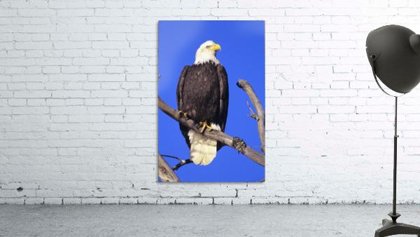 Alaska, Haines Bald Eagle Reserve, Bald Eagle (Haliaeetus Leucocephalus) Perched On A Branch.