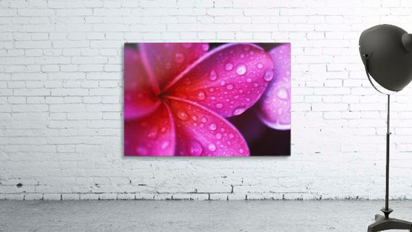 Hawaii, Maui, Extreme Close-Up Purple Pink Plumeria Blossom Water Droplets Aka Frangipani