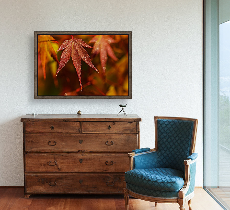 Japanese Maple (Acer palmatum) turning red in the autumn; Astoria, Oregon, United States of America with Floating Frame