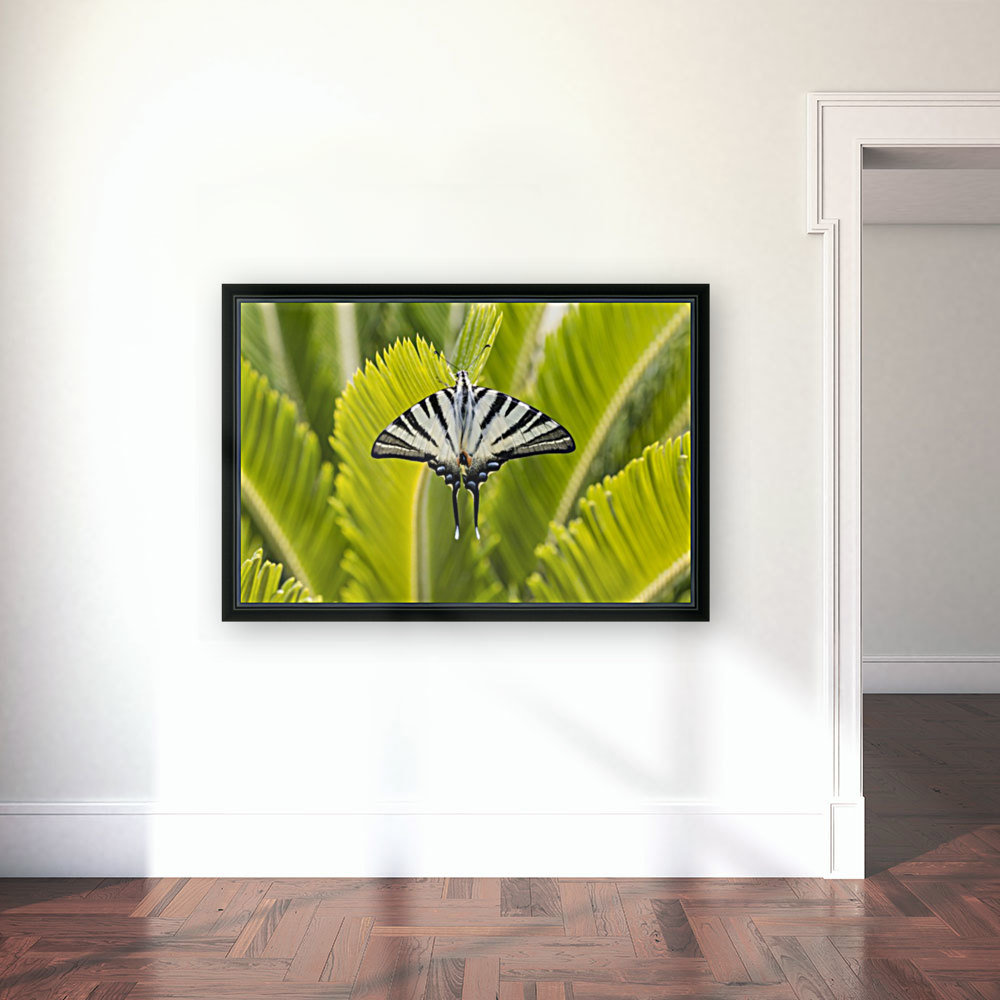 Scarce swallowtail butterfly with Floating Frame