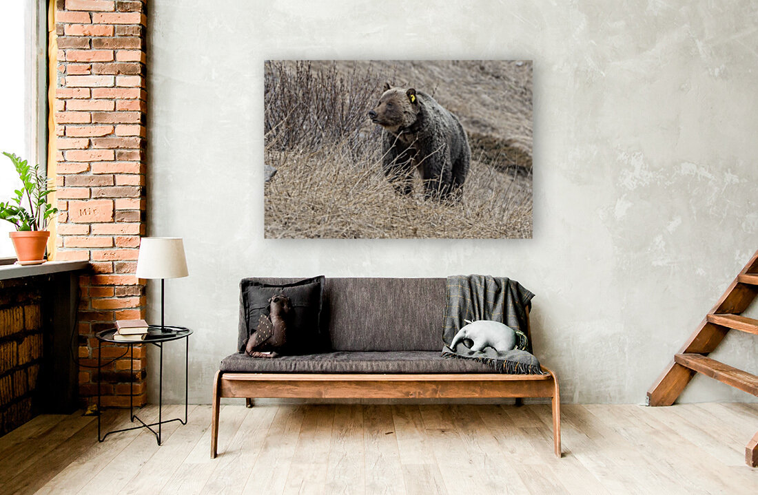 6897 - Grizzly Bear 2160  Art