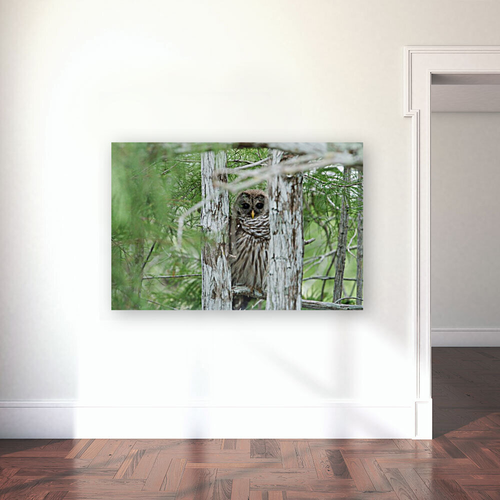 Barred Owl with Floating Frame
