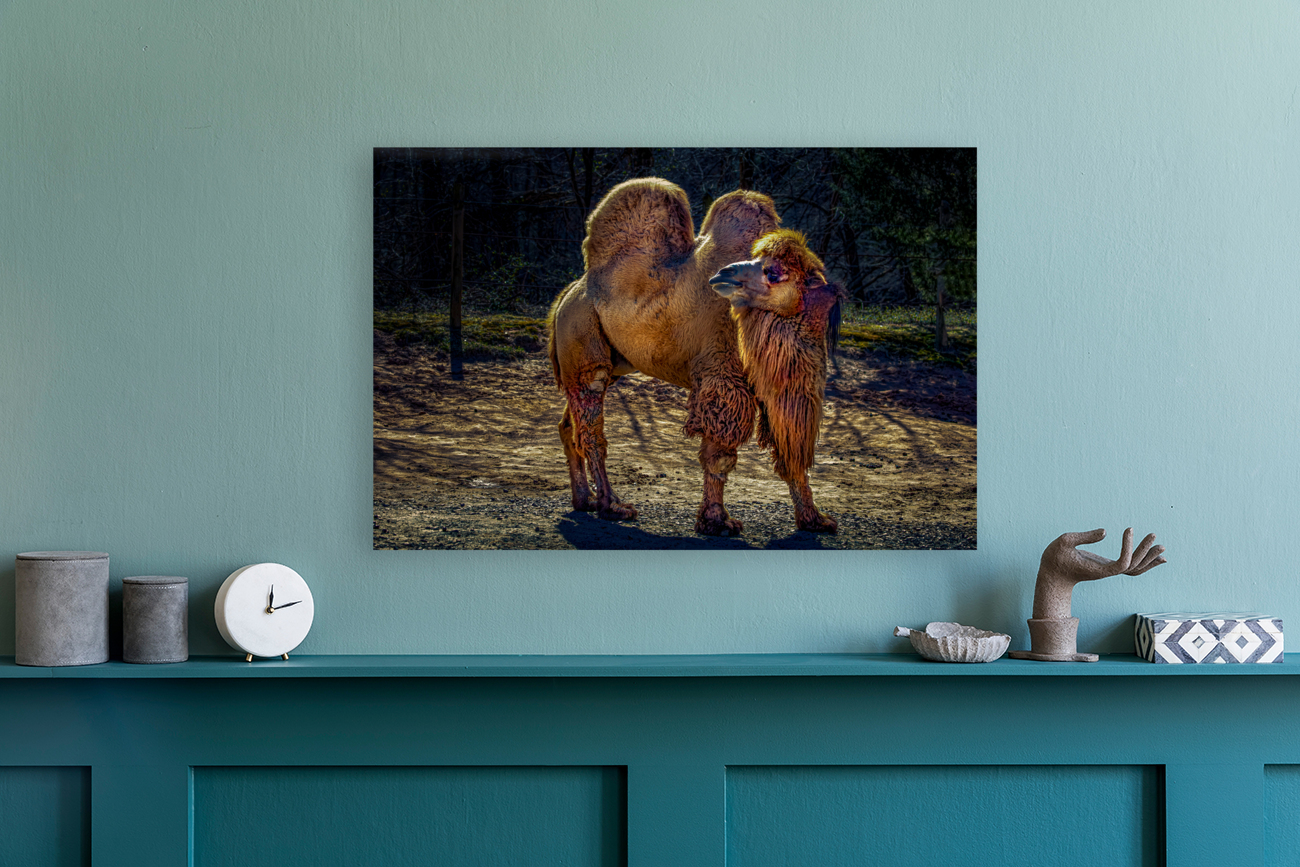 Bactrian Camel  Art