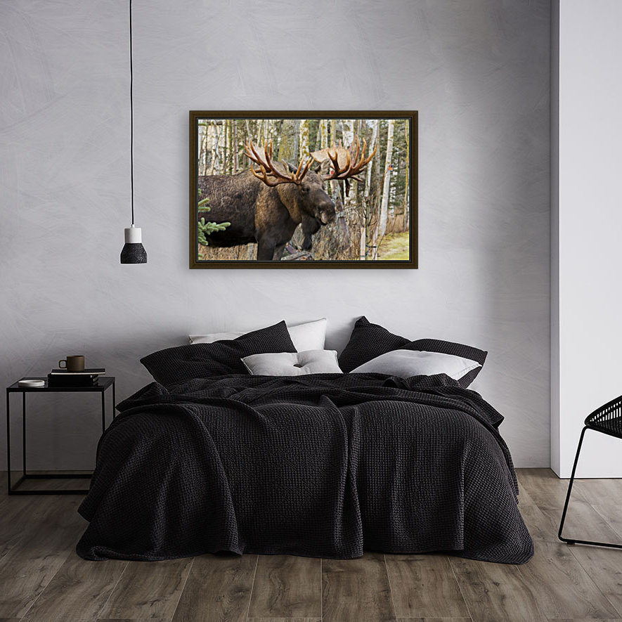 Bull moose (alces alces), rutting season; Alaska, United States of America  Art