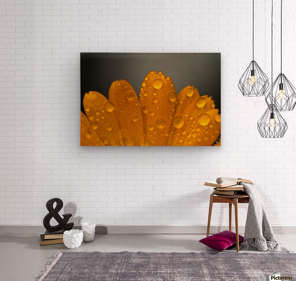 Close up of water droplets on orange flower petals; South Shields, Tyne and Wear, England  Wood print