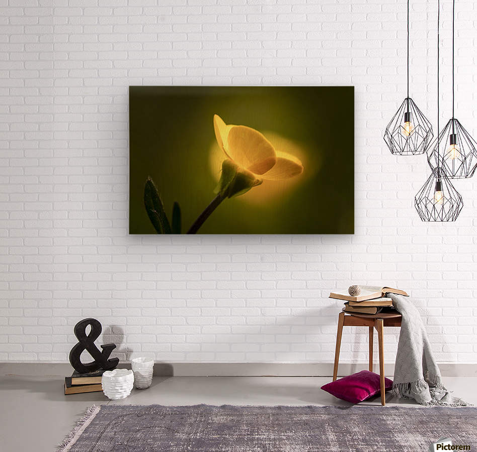 A yellow flower glowing in sunlight; South Shields, Tyne and Wear, England  Wood print