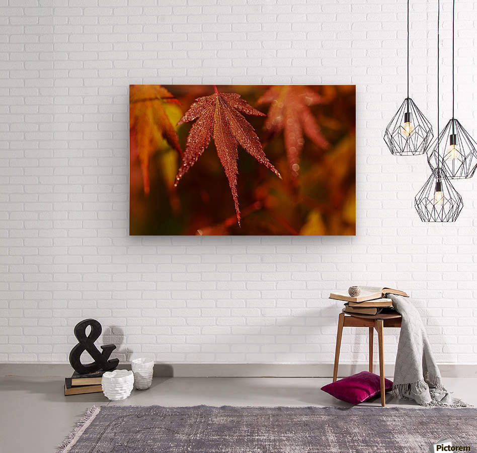 Japanese Maple (Acer palmatum) turning red in the autumn; Astoria, Oregon, United States of America  Wood print