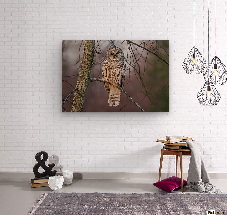 Barred Owl at sunrise.  Wood print