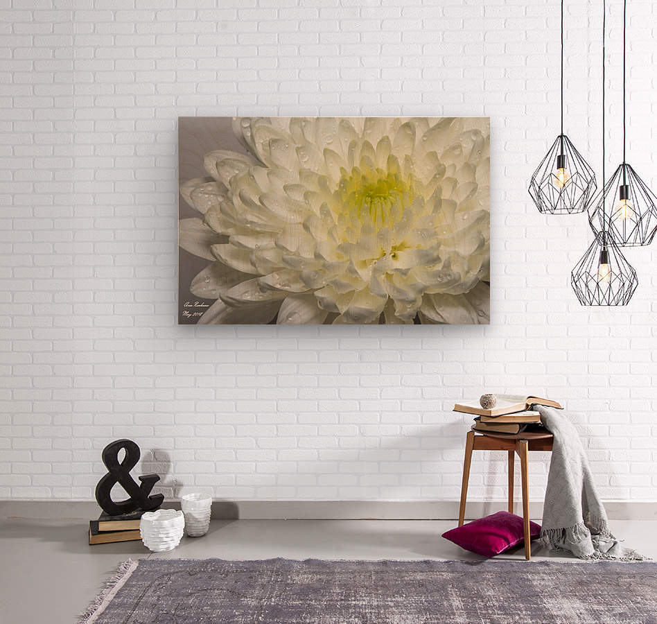 White mum flower with water droplets  Wood print