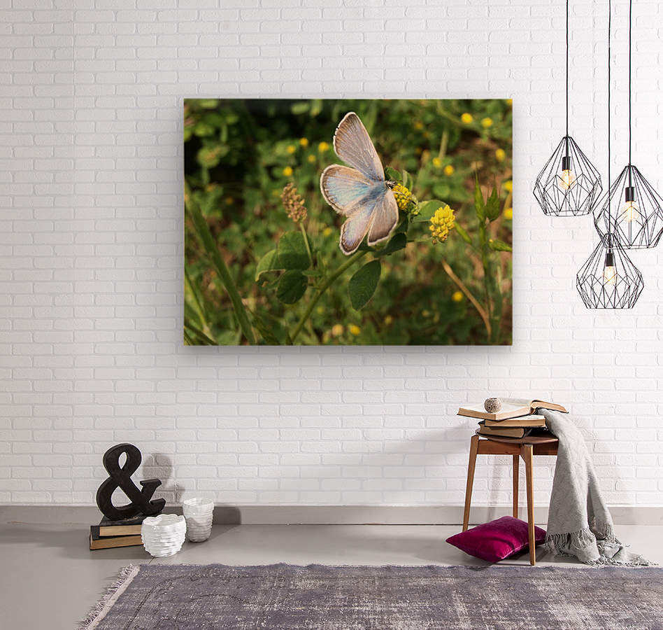 Blue Butterfly on Clover  Wood print