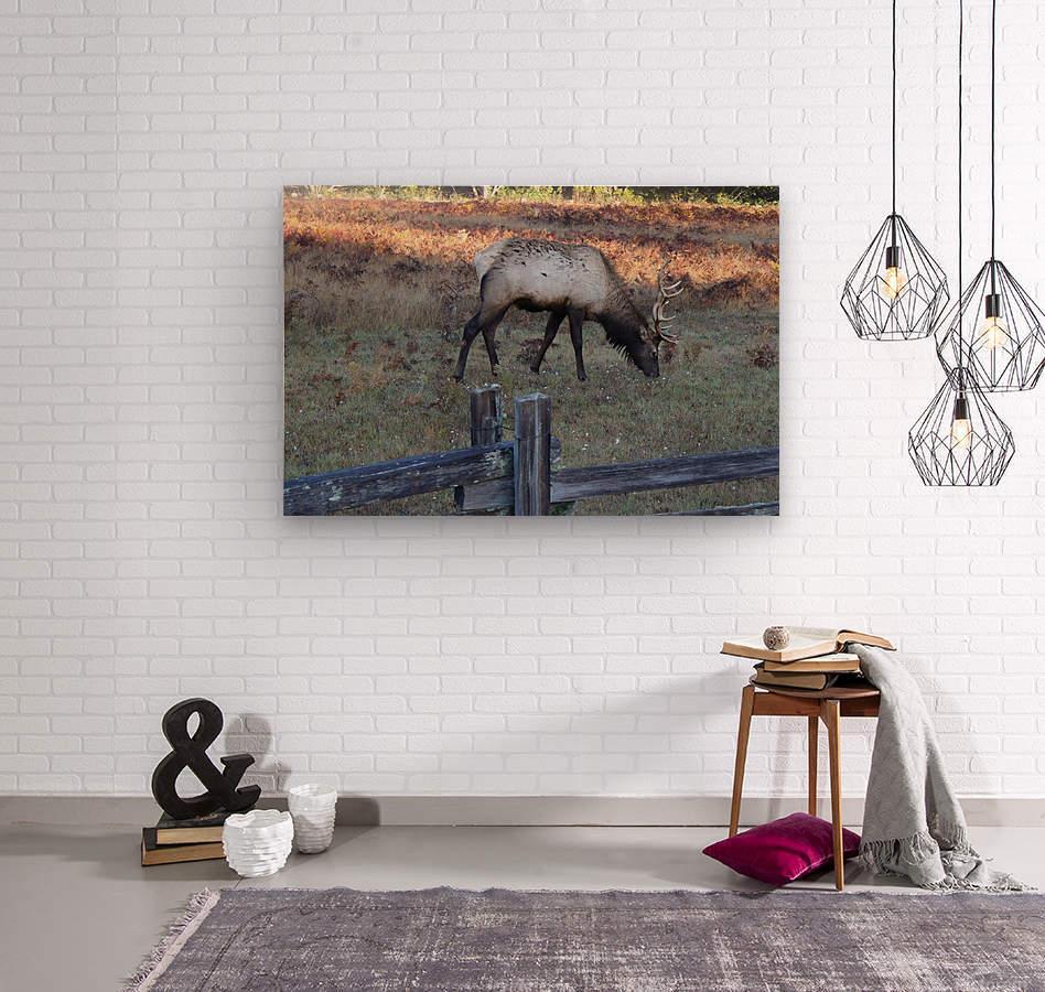 Bowing Elk  Wood print