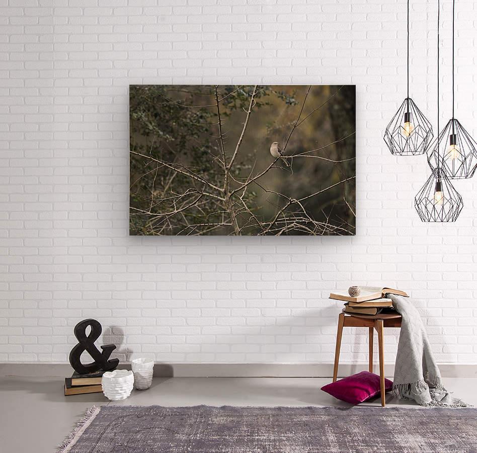 Resting Mockingbird  Wood print