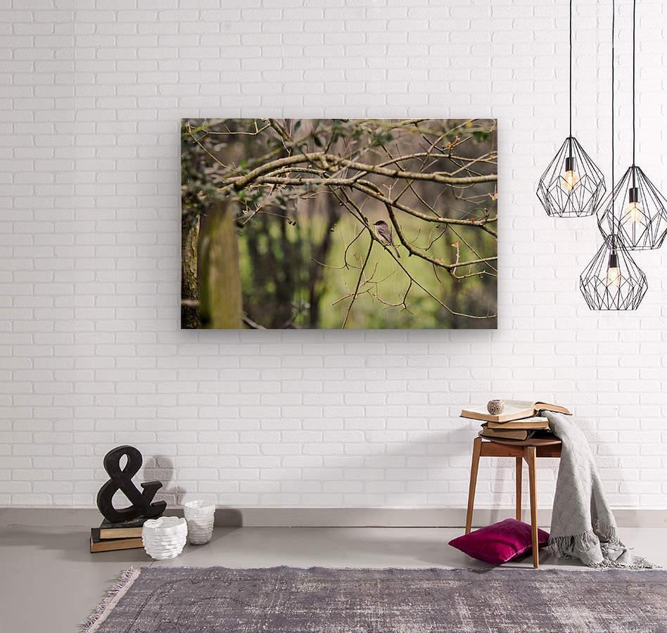 Eastern Phoebe  Wood print