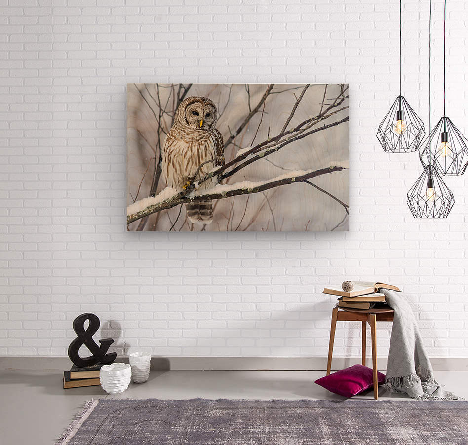 Barred Owl on a Snowy Branch  Wood print