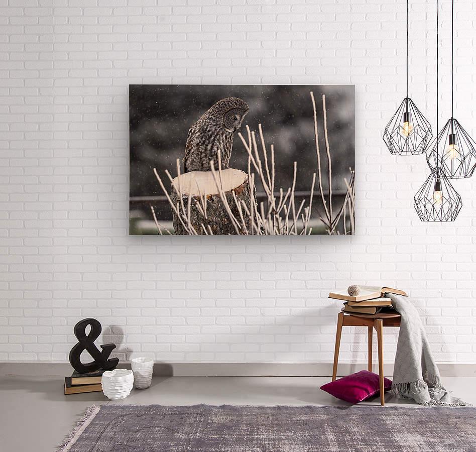 Great Grey Owl - Hunting at sunset.   Alberta Canada  Wood print
