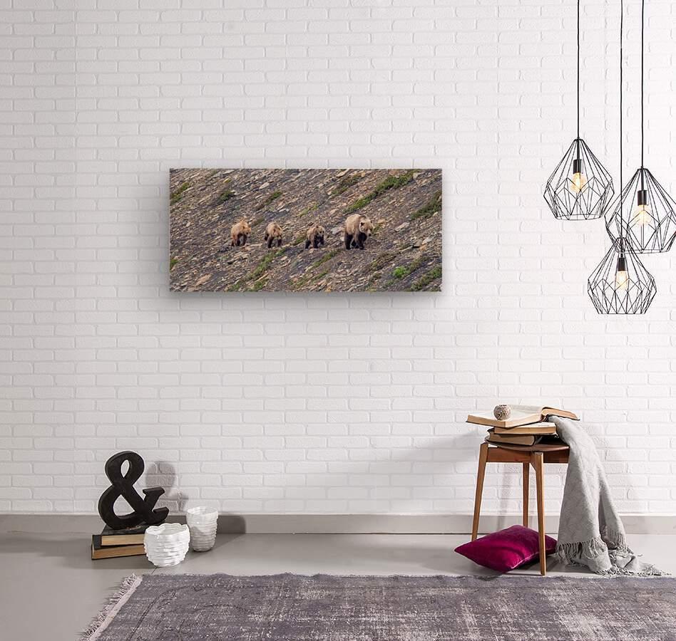Grizzly Bear Family - Walk this way.  Kananaskis Country Alberta. Canada  Wood print