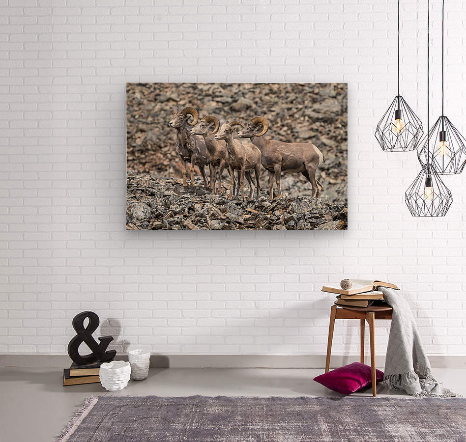 Big Horn Sheep - Family Portrait  Wood print