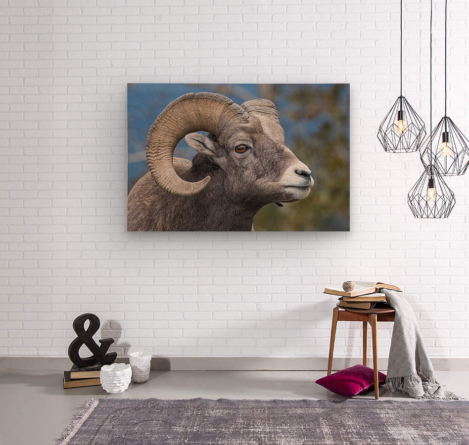 Big Horn Sheep - Portrait  Wood print