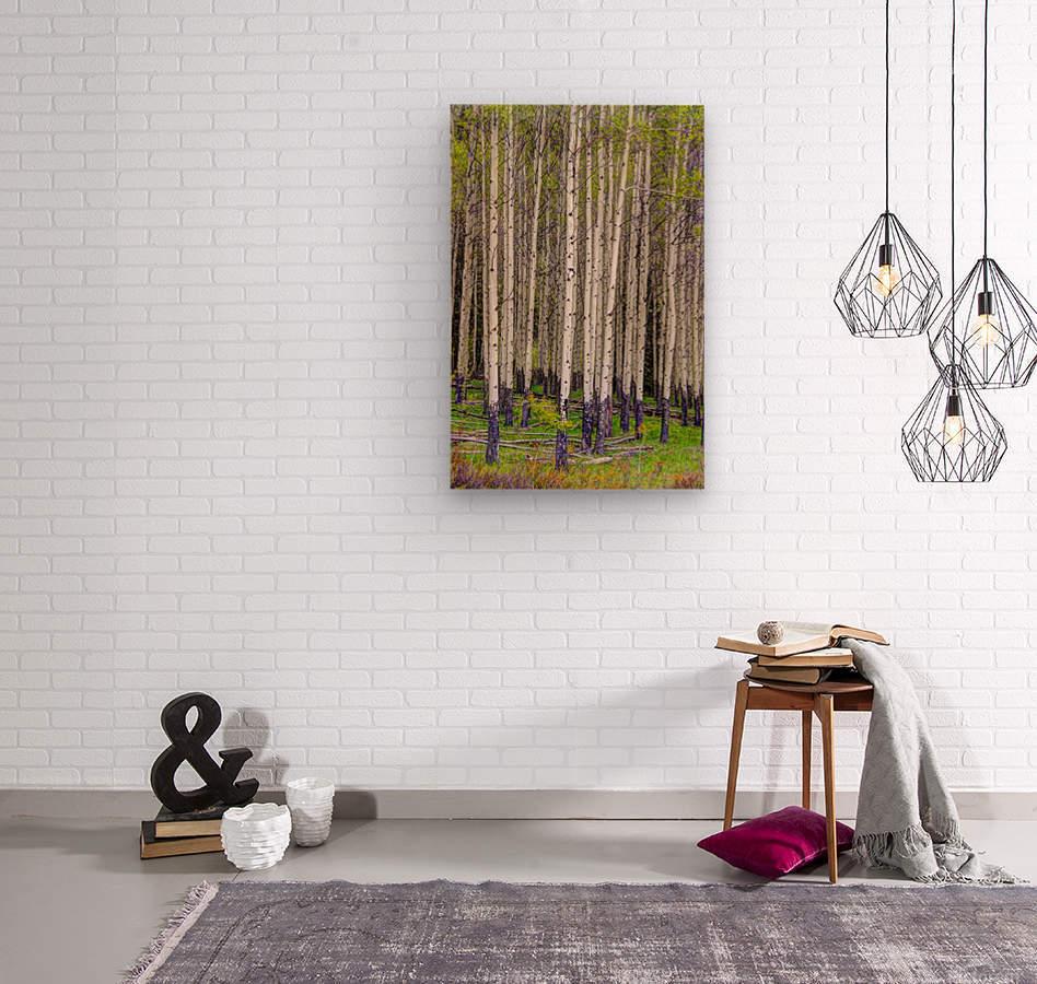 Aspens In Banff National Park  Wood print