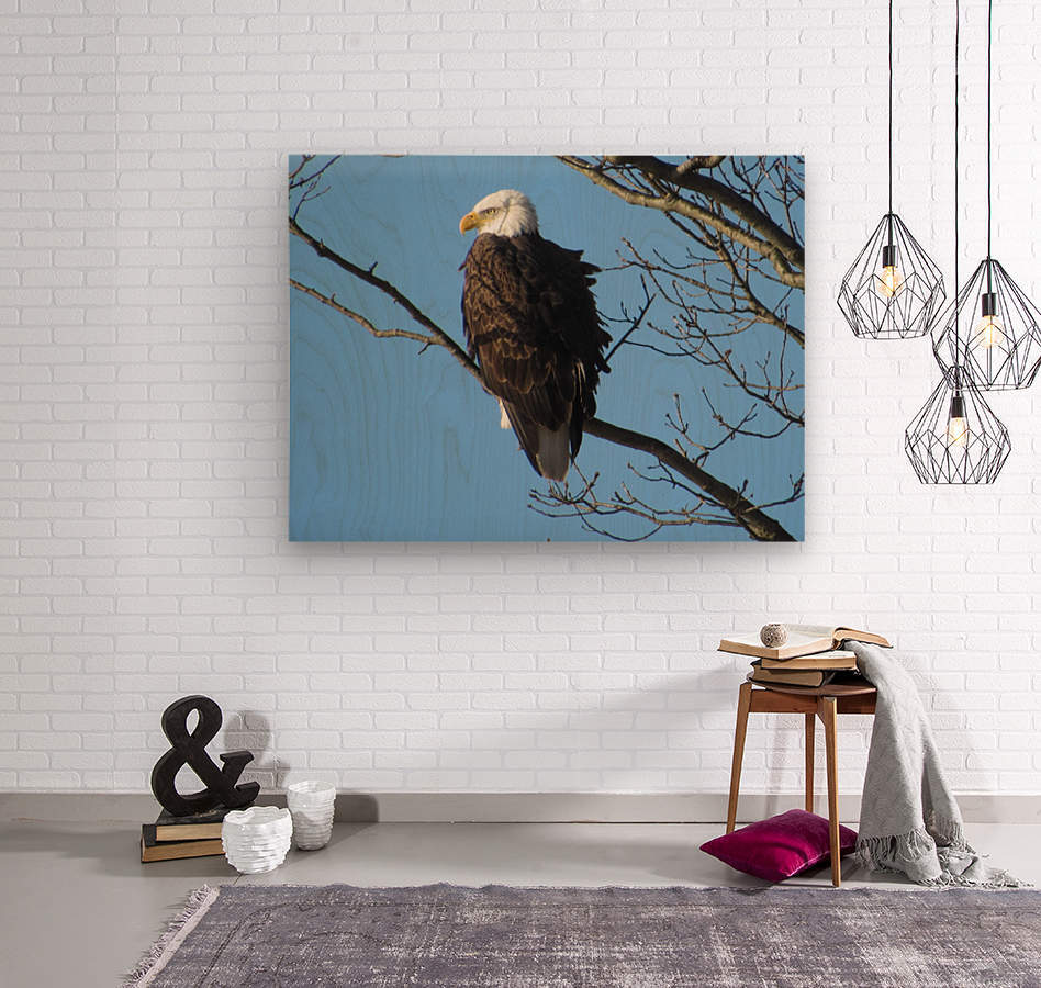 Bald Eagle Sitting on a Branch  Wood print
