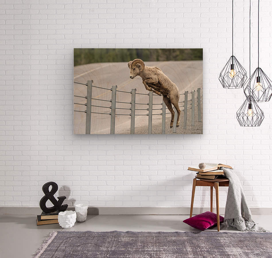 7585 - Bighorn Sheep - Kananaskis Country Alberta. Canada  Wood print