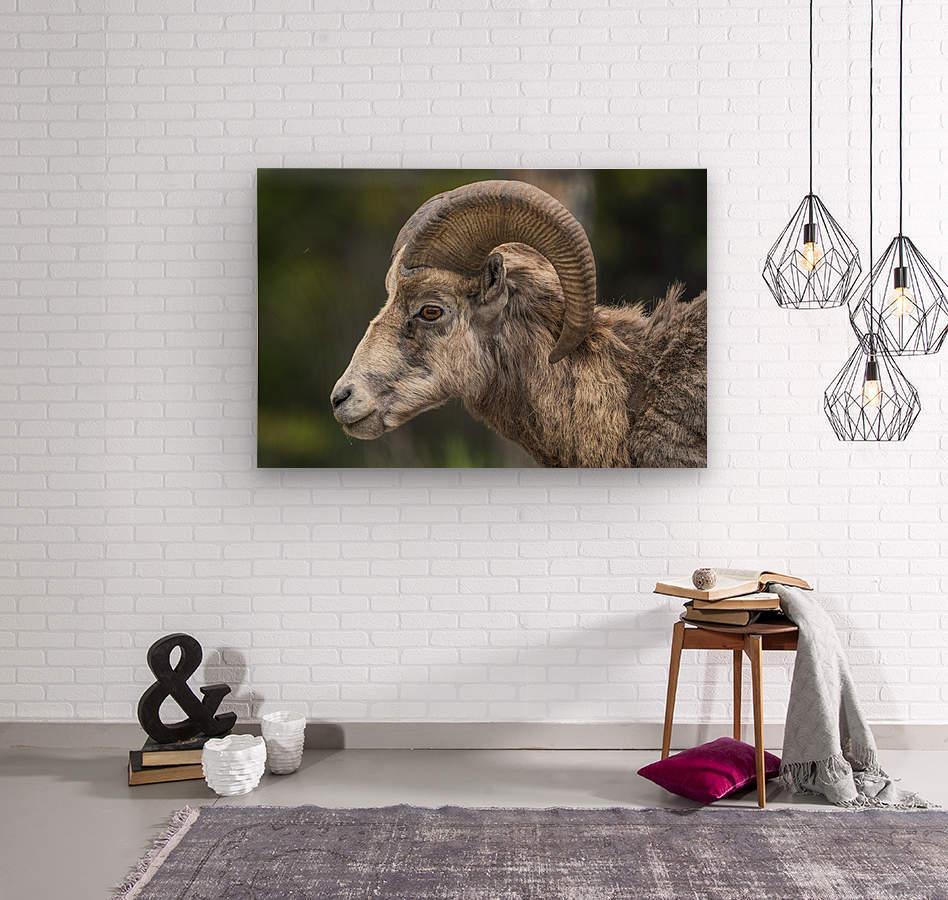 5513 - Big Horn Sheep  Banff National Park Canada  Wood print