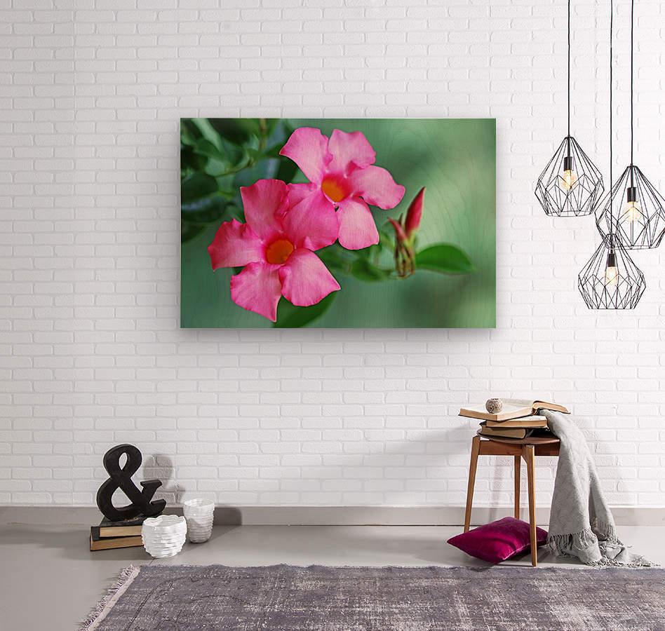 Mandevilla In Pink  Wood print
