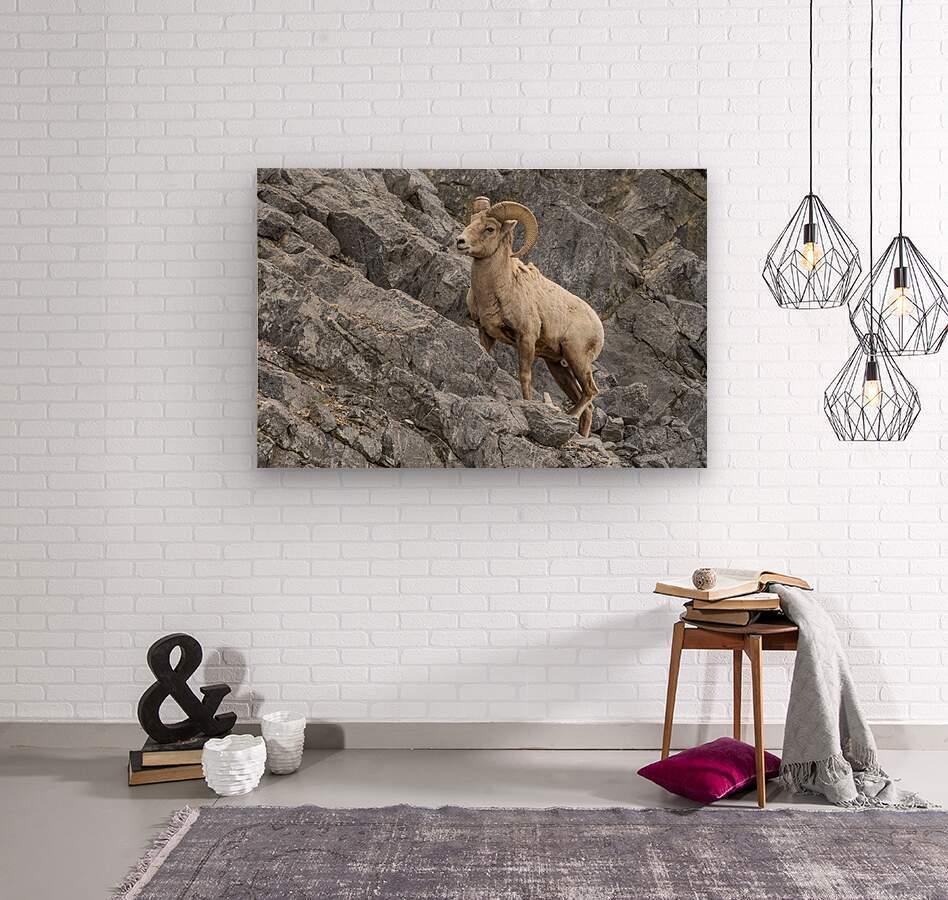 8016 - Big Horn Sheep  Wood print