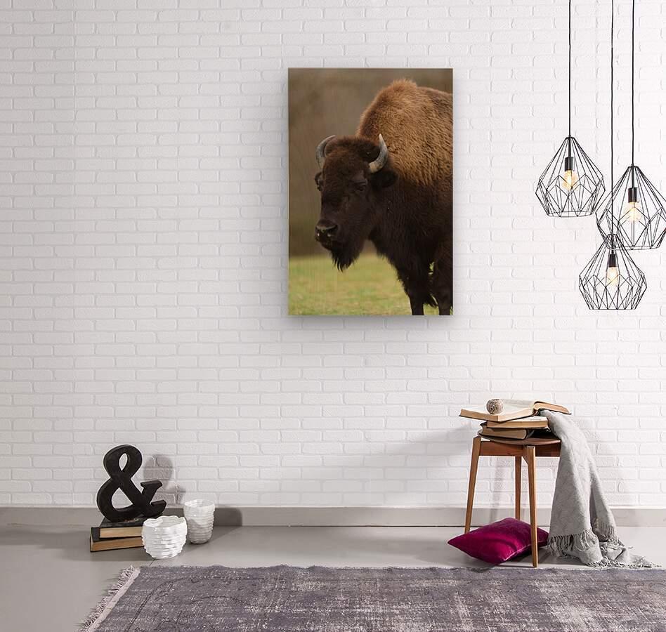 North American Buffalo  Wood print