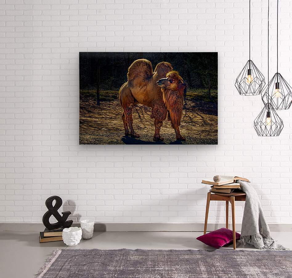 Bactrian Camel  Wood print