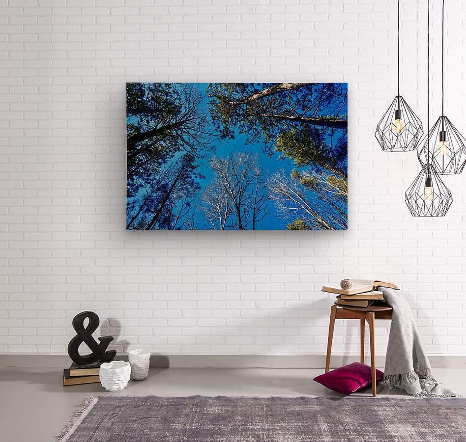 Towering Trees Bright Blue Sky  Wood print
