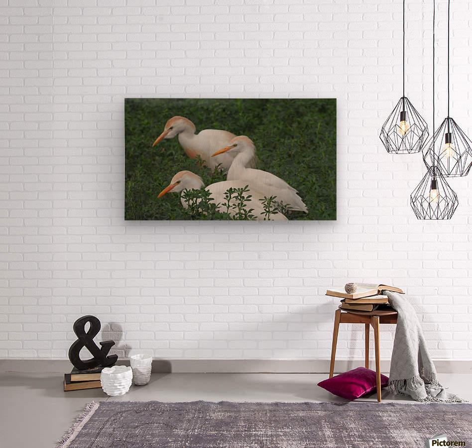 Cattle Egrets  Wood print