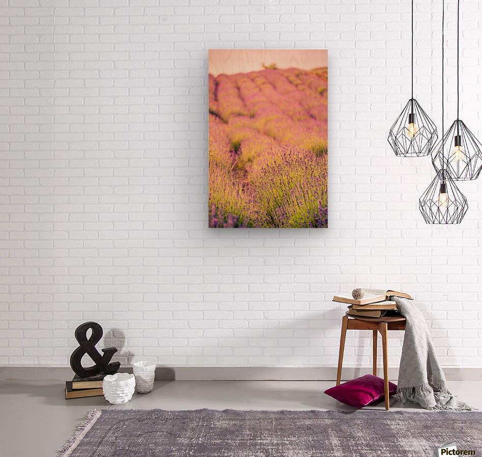 Beautiful Sunset lavender flowers on a field  Wood print