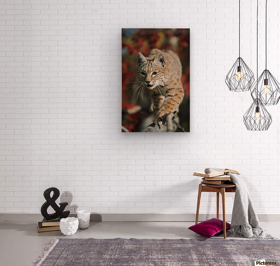 Bobcat (Felis Rufus) Walks Along Branch Through Red Leaves Of A Hawthorn In Autumn; Idaho, Usa  Wood print
