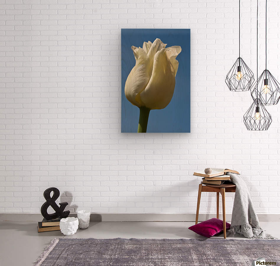 A White Tulip Against A Blue Sky; Northumberland, England  Wood print