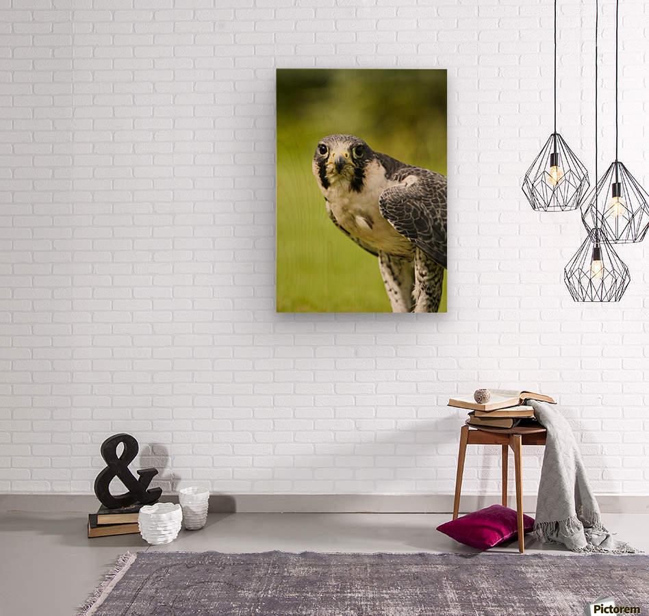Peregrine Falcon (Falco Peregrinus); Windermere, Cumbria, England  Wood print