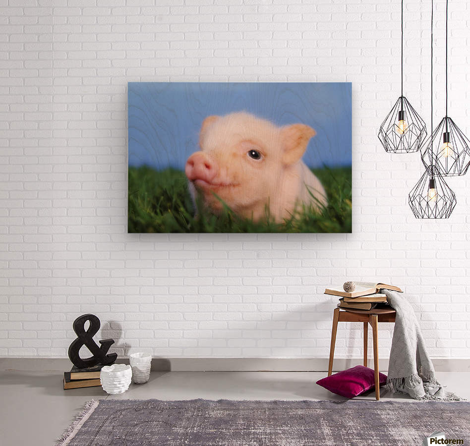Baby pig lying on grass;British columbia canada  Wood print