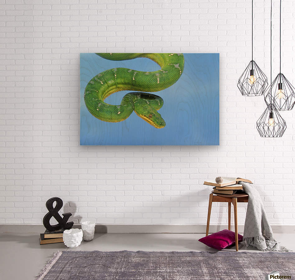 Emerald tree boa (corallus caninus) on a blue background;British columbia canada  Wood print