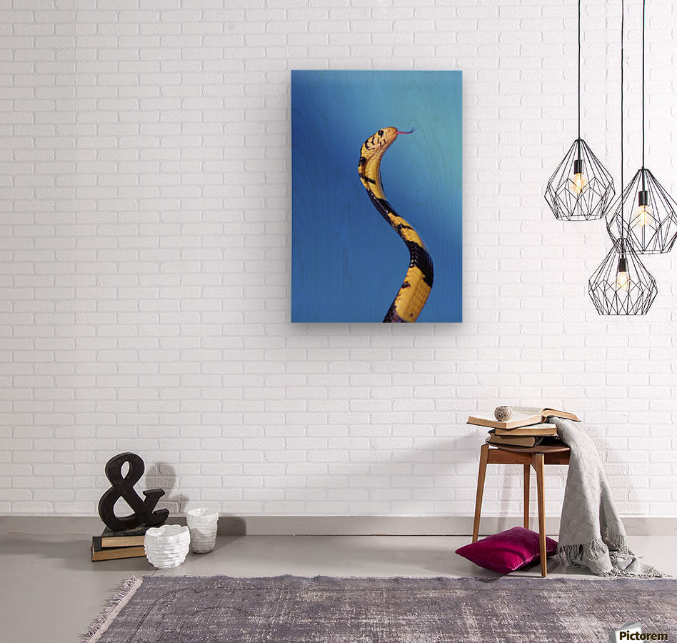 Forest cobra (naja melanoleuca) against a blue background;British columbia canada  Wood print