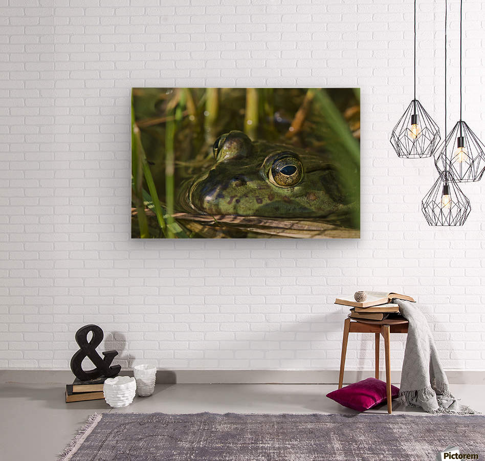 A bullfrog (Lithobates catesbeianus) rests in a pond; Astoria, Oregon, United States of America  Wood print