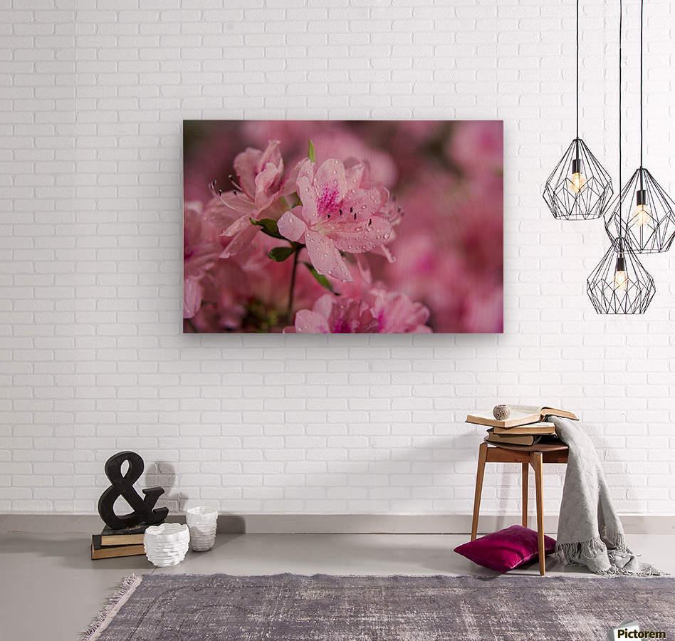 Pericat hybrid azaleas (Mrs. Fisher), Rhododendron (Ericaceae), New York Botanical Garden; New York City, New York, United States of America  Wood print
